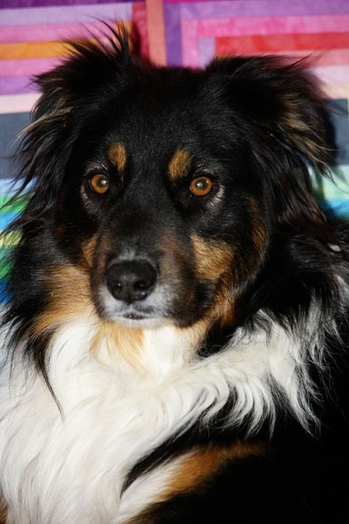 Australian Shepherd, Alpha Dog, Roxie, Family, Dog Portrait