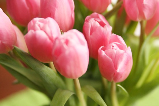 Pink Tulips, Photography