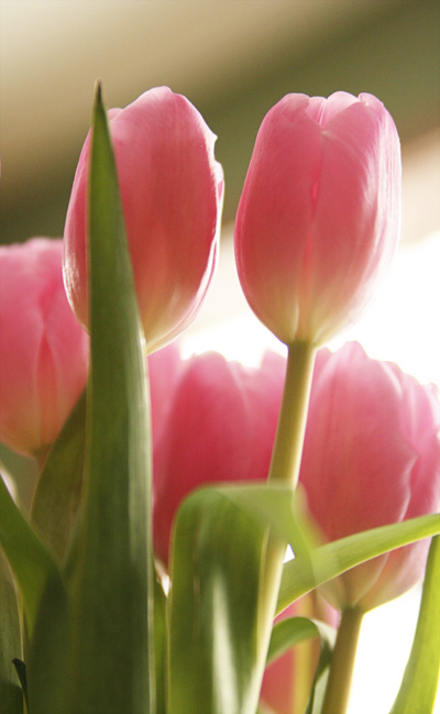 Tulips, Pink, Photography, Flowers