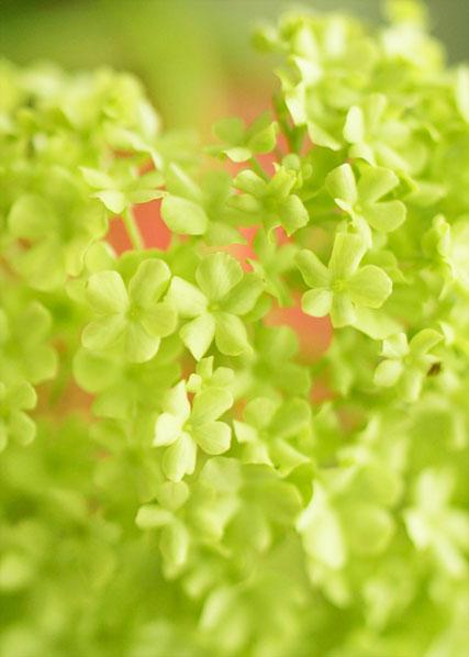 Hydrangea, chartreuse, flower