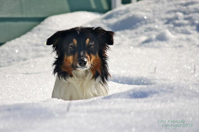 Australian Shepherd, Snow,
