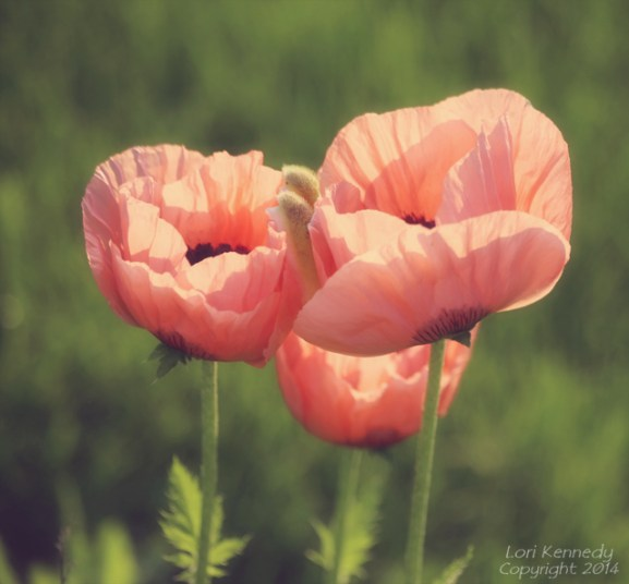 Apricot Poppies