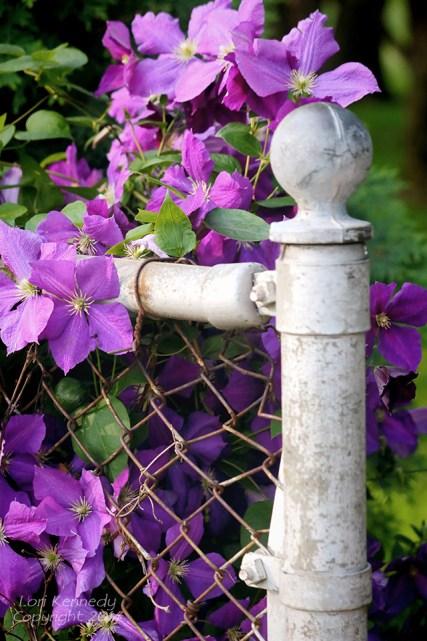 Clematis, Garden, Fence Post