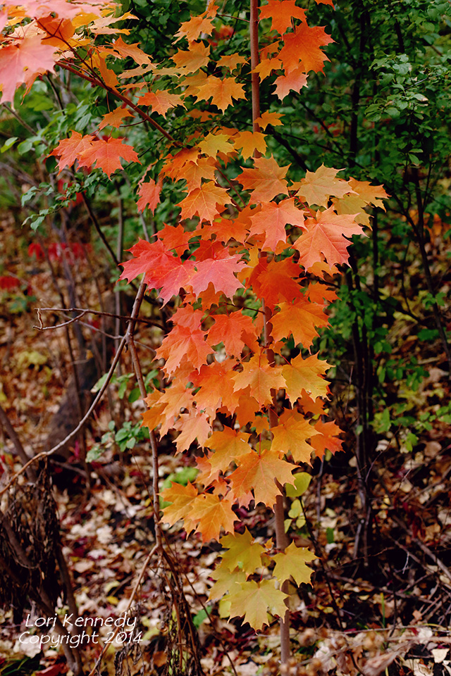 Fall Maple Leaves, Red, Yellow, Orange