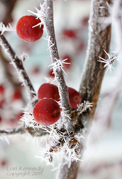 Hoar Frost on Red Berries