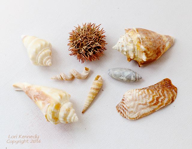 Seashells Still Life