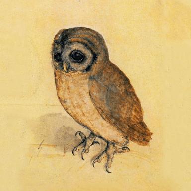 Little Owl, Albrecht Durer