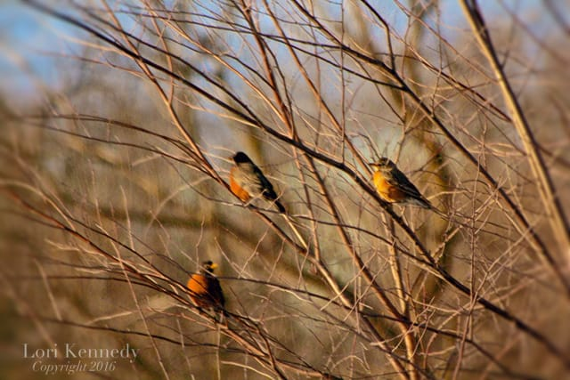 Robins, Lori Kennedy Photography