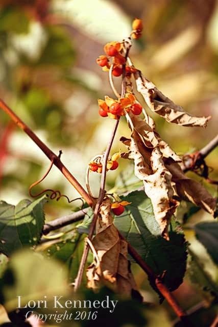 Bittersweet, Autumn