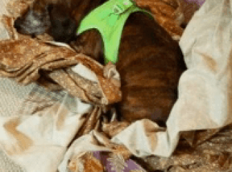 Chessie likes to make a nest out of fabric scraps!