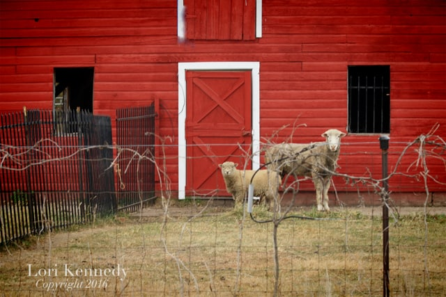 Red Barn, Sheep
