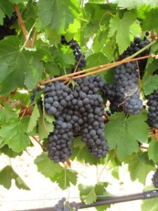 Grapes are getting ready at Las Positas Vineyards in the Livermore Valley.