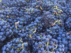 Maple Vineyards, Maggie's Block, Zinfandel grapes