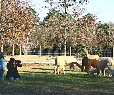 (Photo-) Shooting Alpacas