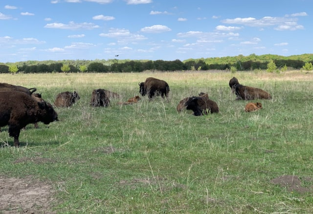 bison herd with two calves