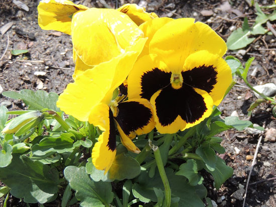 First-flower