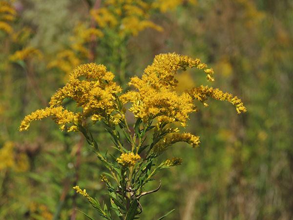 yellow-wild-flower
