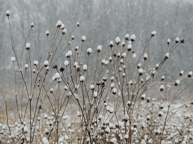 Wild Flowers in the Snow