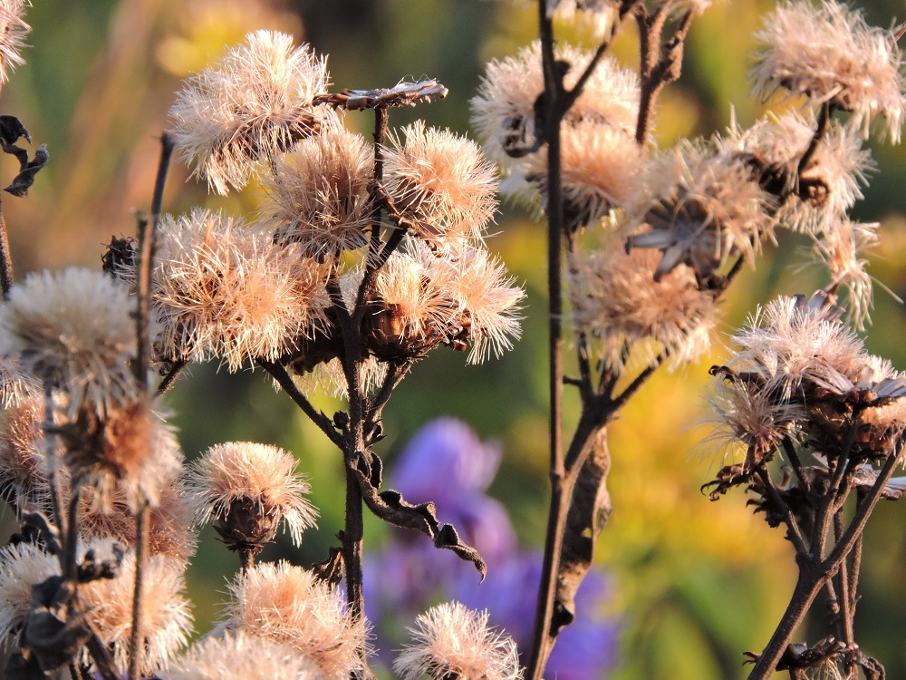 Flowers going to seed
