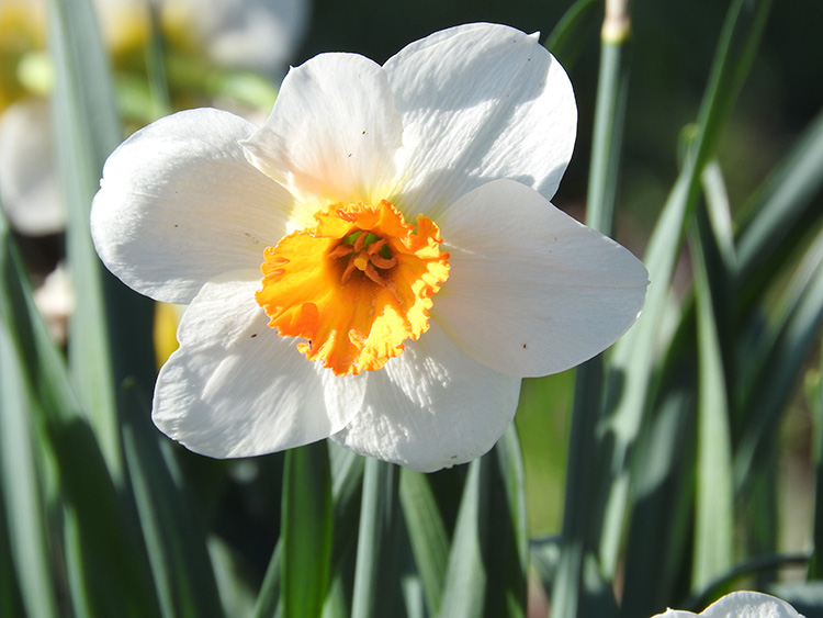 White and organge daffodil