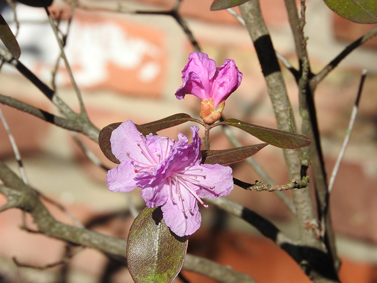 another rodododendrum