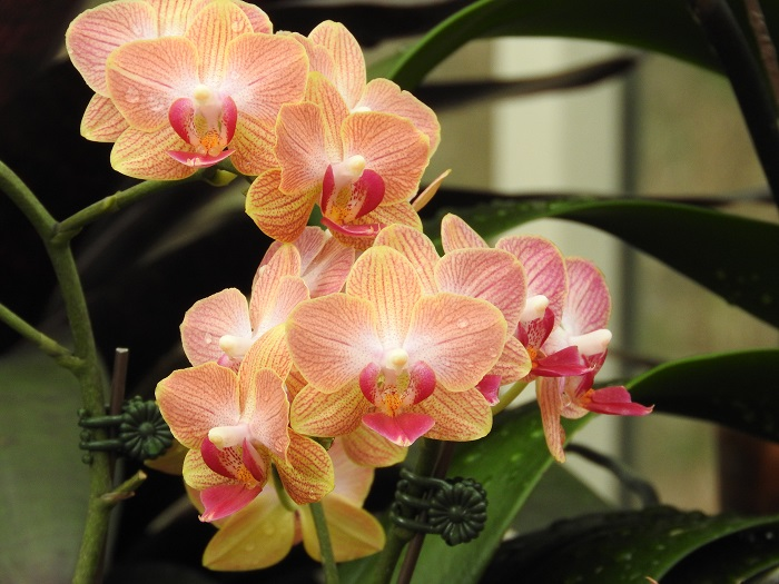 orchid chain