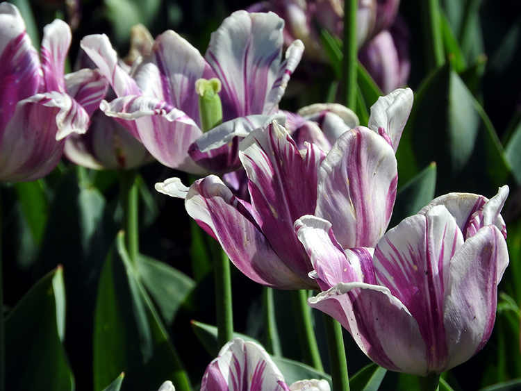 Purple and white tulipss