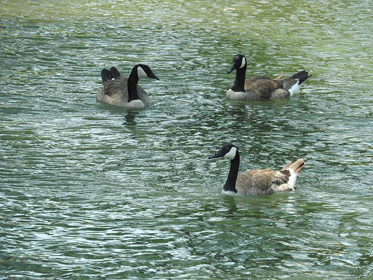 ducks in balance