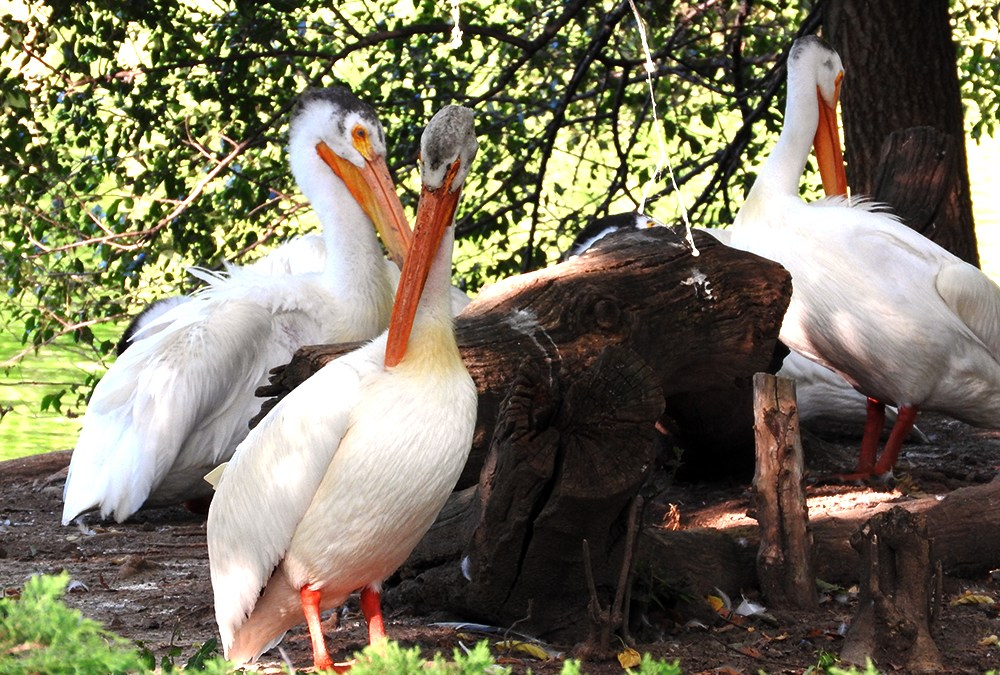 Pelicans on the Banks