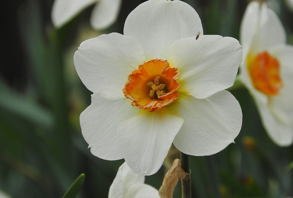 Daffodils – The First Sign of Spring