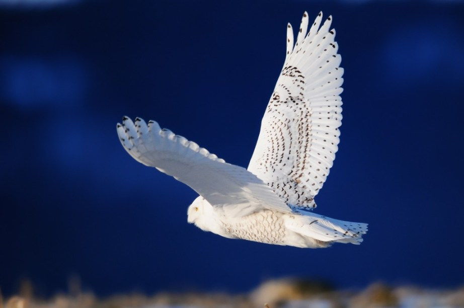 bird-owl-white-wings-flight