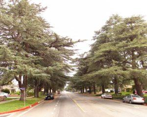 himalayan cedar in Granada Hills ca