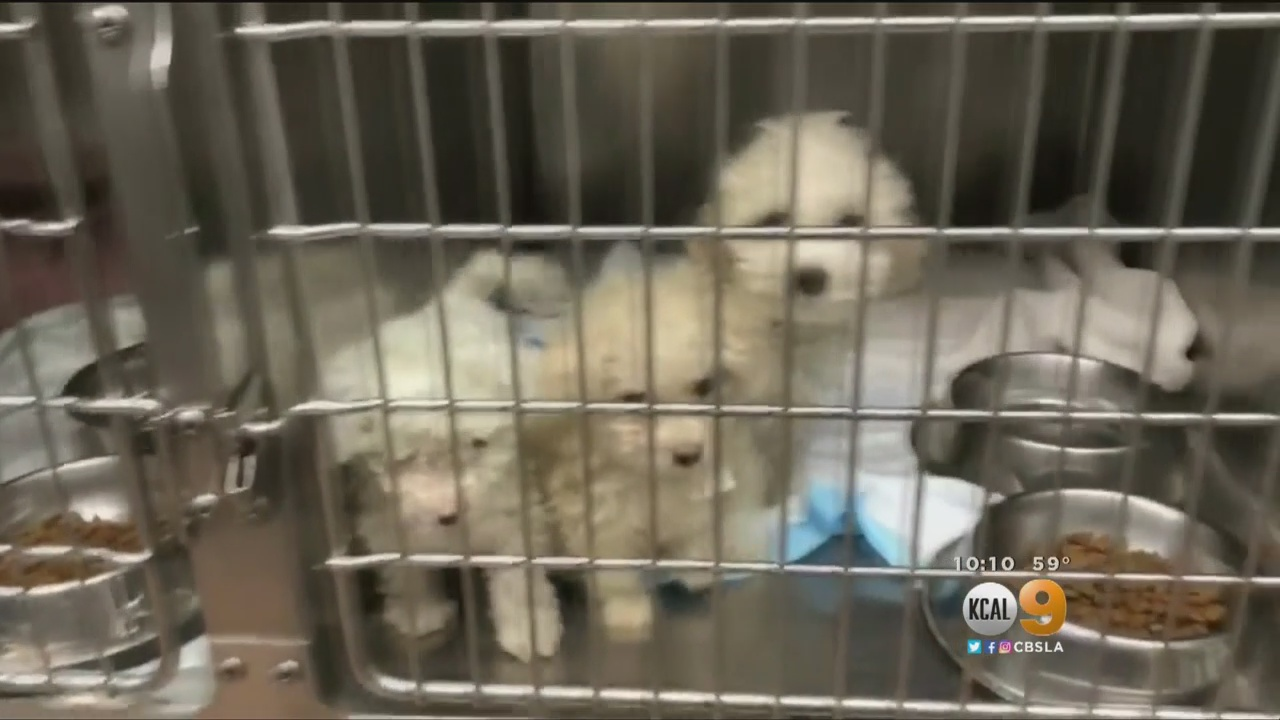 Man Accused Of Selling Sick Dogs To Socal Families Cbs Los Angeles