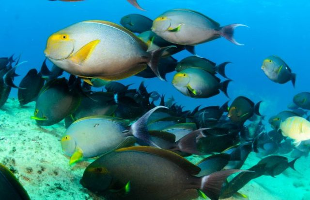 (Prionurus punctatus) Yellowtail Surgeonfish. reefs of the Sea o