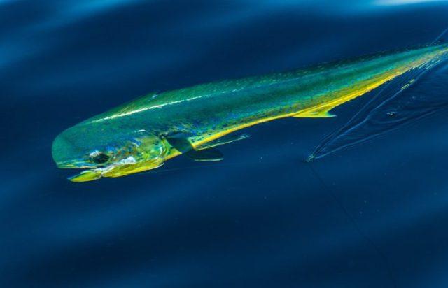 Marlin Patrol
