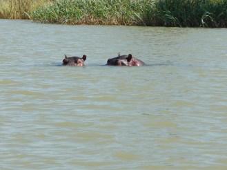 Hippos peaking through the water. Hello!