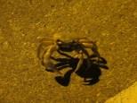Cangrejo de tamaño gigante paseándose por la calzada