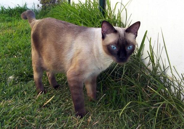 Lara, la gata siamesa traviesa