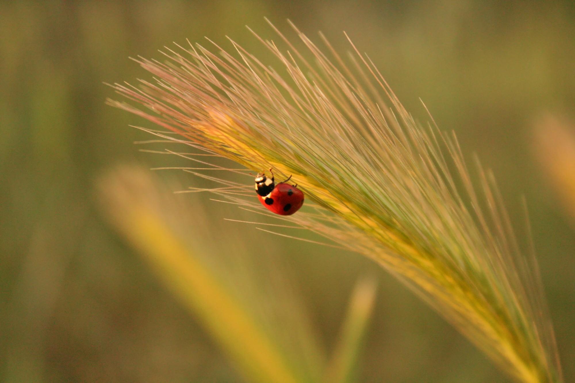 Ladybird climbing an ear with the light of the sunset