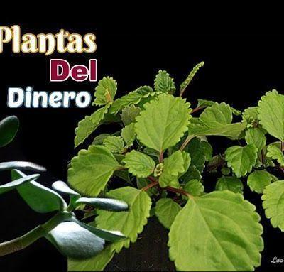 ATRAE EL DINERO ~ Las Plantas del Dinero