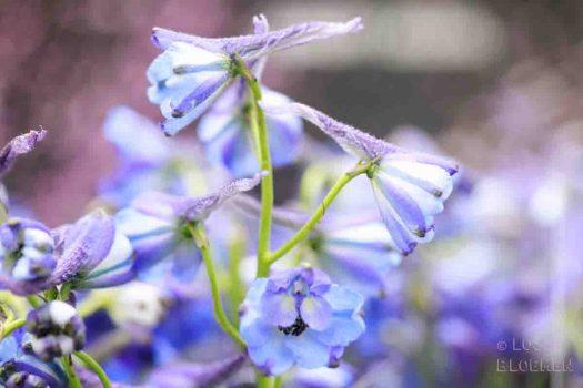 lossebloemen betekenis ridderspoor