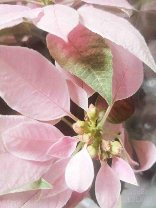 kerstster katten lossebloemen welke losse bloemen en planten zijn giftig en welke veilig voor katten