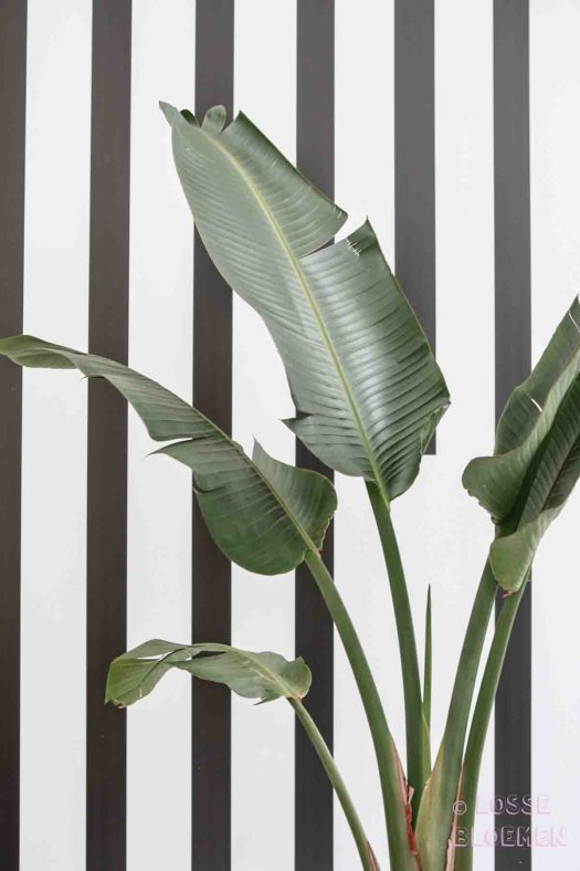Trends Losse bloemen strelitzia