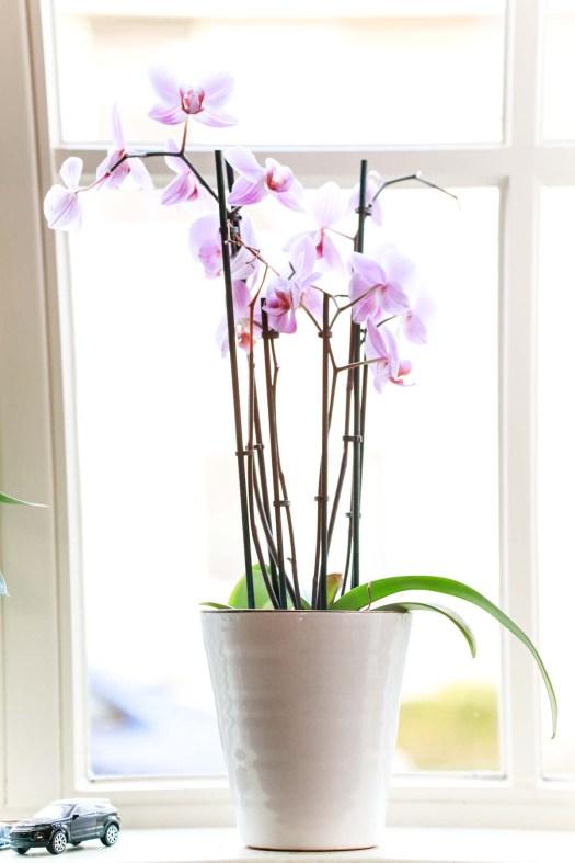 orchidee verzorging tips water, plek en tweede bloei