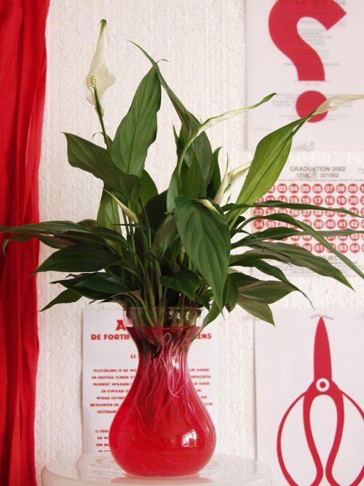 spathiphyllum-lepelplant-hydroponie-planten-trend-mooiwatplantendoen.nl-lossebloemen