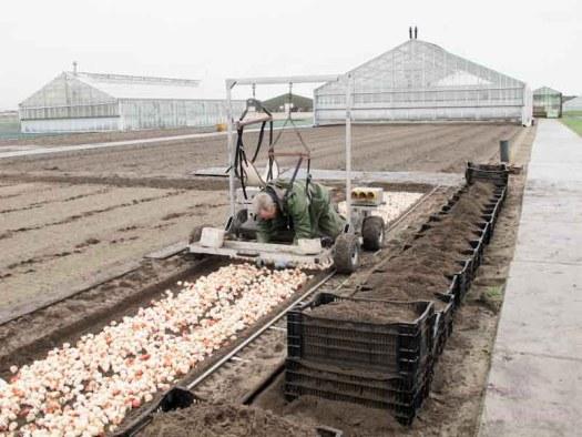tulpen handmatig bearflowers losse bloemen lossebloemen.nl tulpen veld Dutch tulips tulipa