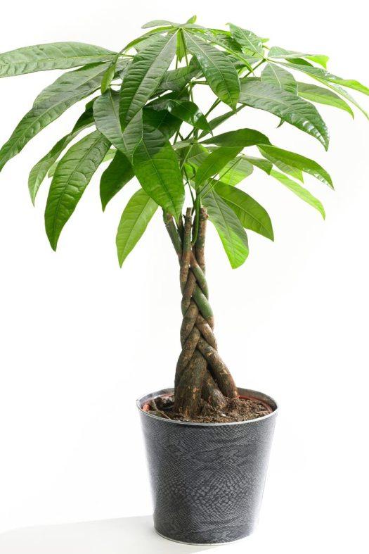 Pachira-beeld-mooiwatplantendoen