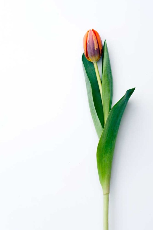 Oranje koningsdagbloemen foto- mooiwatbloemendoen.nl op losse bloemen blog Tulp