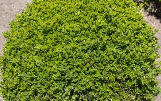 Buxus kaal aangevreten vlinder motjes wat te doen aan rupsen in de struik tuin - tuinieren - pluktuin maken met dahlia's - lossebloemen.nl