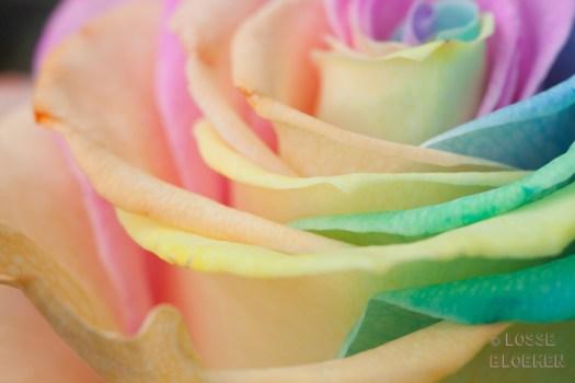 gekleurde bloemen blog happycolorsbv bloemenfoto's Chelan Bakker - Lossebloemen.nl bloemenblog